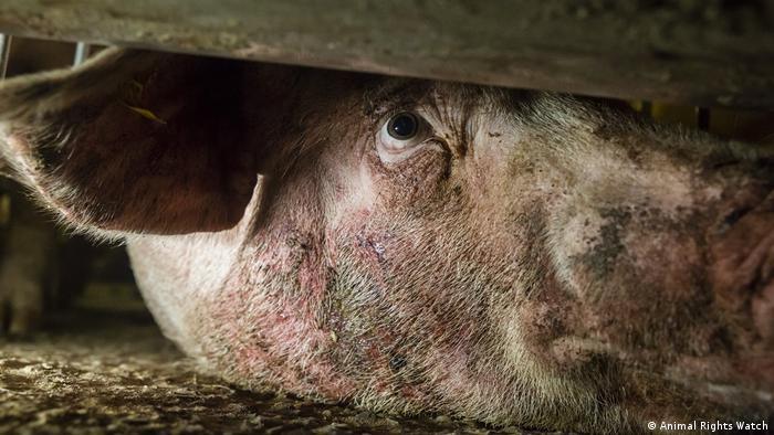 Svinja u kavezu iz arhive organizacije Animal Right Watch