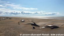 Beached pilot whales on a beach in Iceland