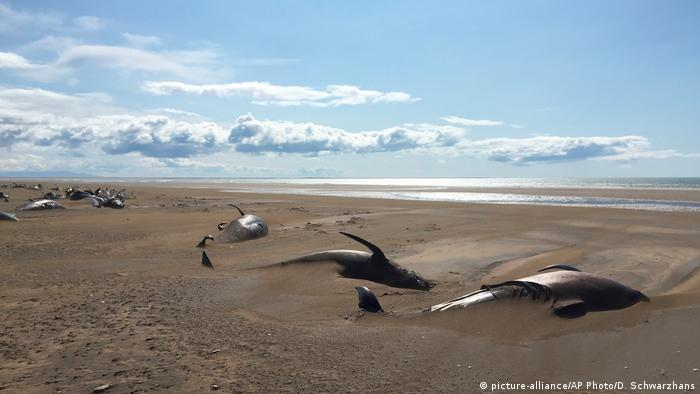 Iceland: Tourists find 50 pilot whales dead on beach