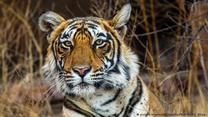 Bengal tiger's face (picture-alliance/blickwinkel/McPHOTO/J. Bitzer)