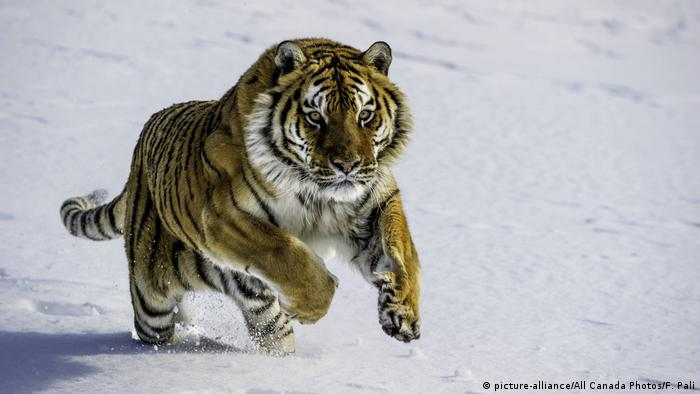Siberian tiger in the snow (picture-alliance/All Canada Photos/F. Pali)