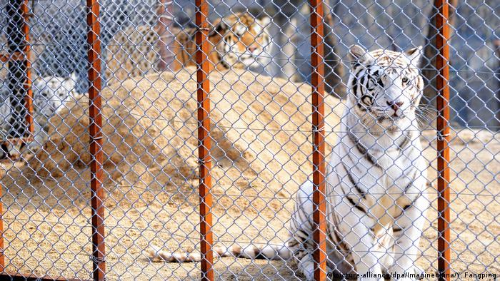 A Siberian tiger and two white tigers in a cage (picture-alliance/dpa/Imaginechina/Y. Fangping)