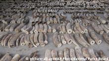 Singapur - Beschlagnahmte Elfenbeinhörner