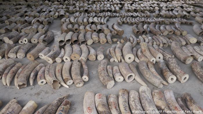Seized elephant tusks in Singapore (picture-alliance/AP Photo/National Parks Board)