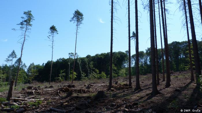 A forest in Sinzig significantly thinned out due to pests (DW/P. Große)