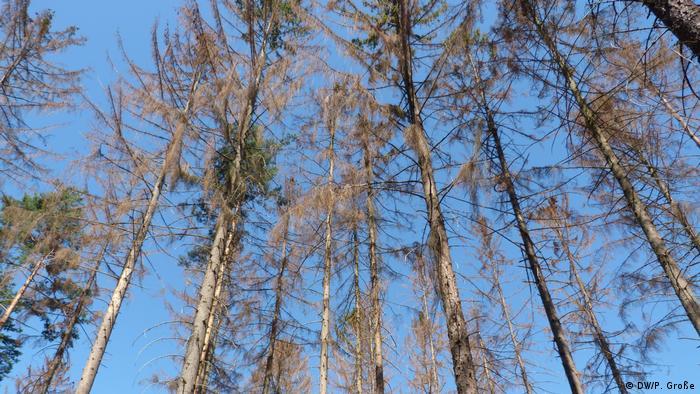 Trees affected by bark beetles near Sinzig (DW/P. Große)