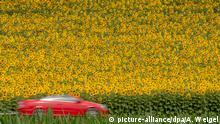 BG Sonnenblumen in Deutschland | Sonnenblumenfeld