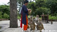In this July 8, 2019, photo, Saraswati Dangol feeds monkeys in the forest near Pashupatinath temple in Kathmandu, Nepal. For the past four years, Dangol has been bringing the bread every day to feed the monkeys. As soon as they see her with her white sack, they gather around her, some patiently waiting for their turn while others less patiently snatching the bread from her hands. (AP Photo/Niranjan Shrestha) |