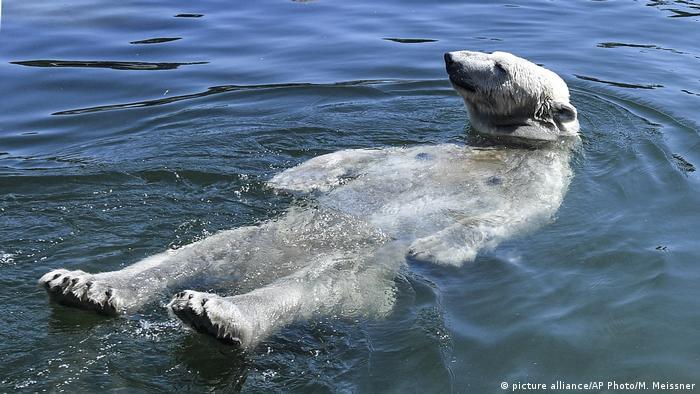 Oso polar em el agua