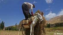 Esel als ein unverzichtbares Tier auf dem Land im Iran