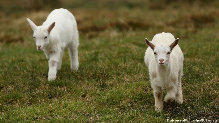 Schiege: Ein Mischung aus Schaf und Ziege