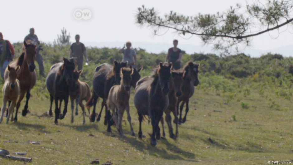 Rounding up Wild Horses in Galicia