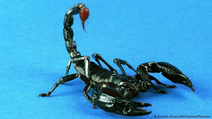 Common emperor scorpion (picture-alliance/blickwinkel/fotototo)