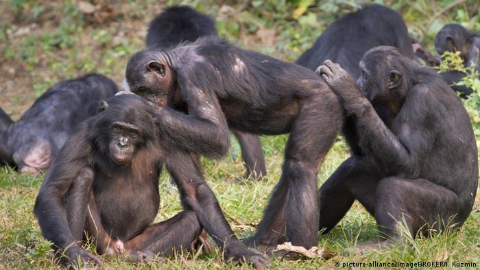 Bonobos grooming each other (picture-alliance/imageBROKER)