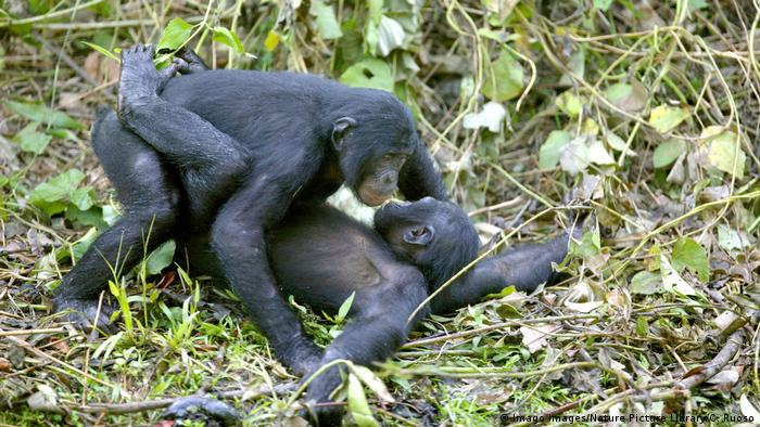 Two embracing bonobos (Imago Images/Nature Picture Library/C. Ruoso)