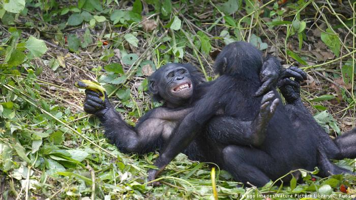 Bonobos mating (Imago Images/Nature Picture Library)