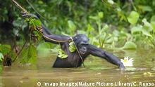 Bonobo (Pan paniscus) foraging in river, Lola Ya Bonobo Sanctuary, Democratic Republic of the Congo. PUBLICATIONxINxGERxSUIxAUTxONLY 1508900 CyrilxRuoso Bonobo Pan paniscus foraging in River Lola Ya Bonobo Sanctuary Democratic Republic of The Congo PUBLICATIONxINxGERxSUIxAUTxONLY 1508900 CyrilxRuoso