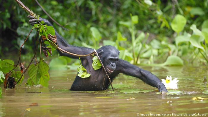 A bonobo foraging in the water (Imago Images/Nature Picture Library)
