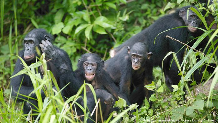 A group of bonobos (Imago Images/Nature Picture Library/C. Ruoso)
