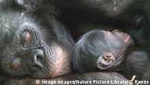 BG Bonobos DR Kongo (Imago Images/Nature Picture Library/C. Ruoso)