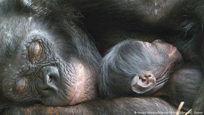 Bonobo mother and baby in the DR Congo (Imago Images/Nature Picture Library)