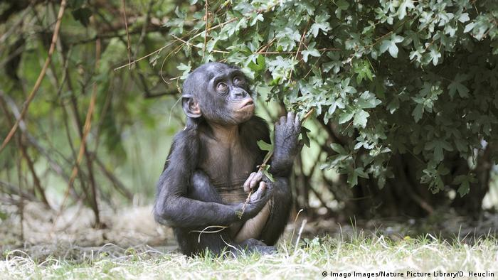 A young bonobo looking up (Imago Images/Nature Picture Library)