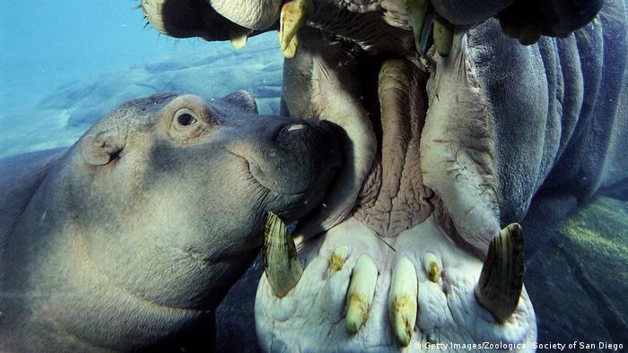 Ein Baby Nilpferd neben seiner Mutter, die ihr großes Maul aufreißt, sodass man ihre großen Eck- und Schneidezähne sieht.
