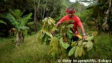 Colombian Luis Portilla, 63, checks a cocoa plant, at his farm in the Catatumbo region, Norte de Santander department, Colombia, on February 8, 2019. - Portilla eliminated his coca crops and accepted the illicit crop substitution plan offered by the government after the signing of the peace agreements with the FARC guerrillas. In Colombia almost one and a half million people (3% of the population) live in areas with illegal crops. 130,000 families have agreed to follow the government's voluntary substitution program, through which they would receive direct payments and support for productive projects. As the government failed to fully comply with the agreement, many have decided to re-plant illicit crops, while the reluctant ones still wait for answers. (Photo by Luis ROBAYO / AFP) (Photo credit should read LUIS ROBAYO/AFP/Getty Images)