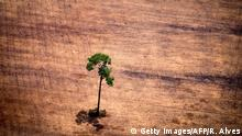 View of a tree in deforested area in the Para region in Brazilian rainforest