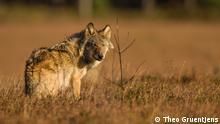 Biosphärenexpeditionen Wolfstour in Niedersachsen