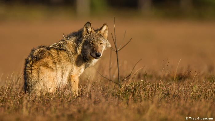 A wolf standing in a field