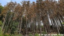 Waldsterben 2019 Fichten