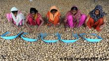 September 8, 2010*** Indian labourers sort through seed potatos at a farm and cold storage facility on the outskirts of Jalandhar on September 8, 2010. AFP PHOTO/NARINDER NANU (Photo credit should read NARINDER NANU/AFP/Getty Images)