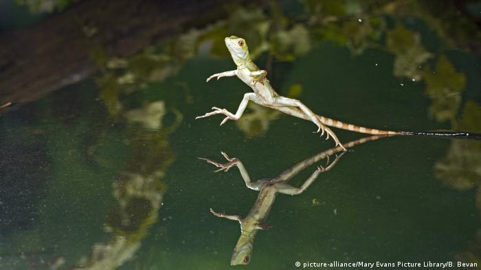 Jesus-Christus-Echse Basiliscus plumifrons (picture-alliance/Mary Evans Picture Library/B. Bevan)