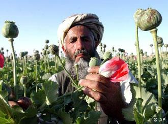 The production of opium continues to flourish in Afghanistan
