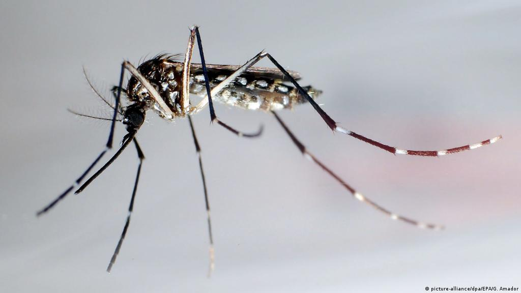 Genetically Modified Mosquitoes Breed