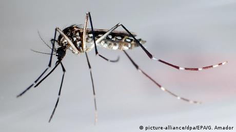 A yellow fever mosquito, Aedes aegypti (picture-alliance/dpa/EPA/G. Amador)