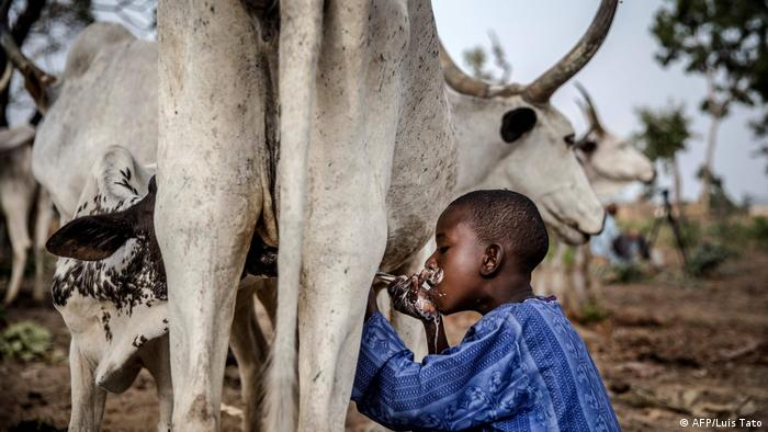 A boy drinks milk from a cow