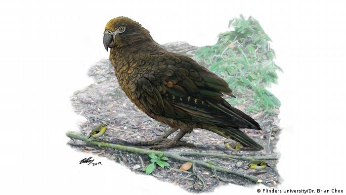 Australasian palaeontologists have discovered the world's largest parrot, standing up to 1m tall with a massive beak able to crack most food sources.