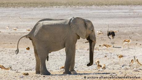 Un elefante africano, en Namibia.