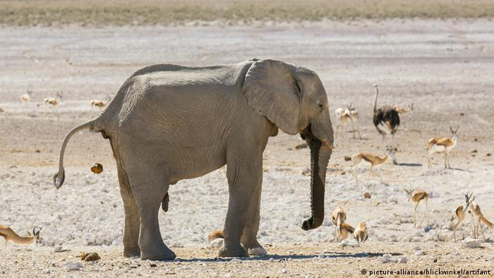 Namibia | Afrikanischer Elefant (picture-alliance/blickwinkel/artifant)
