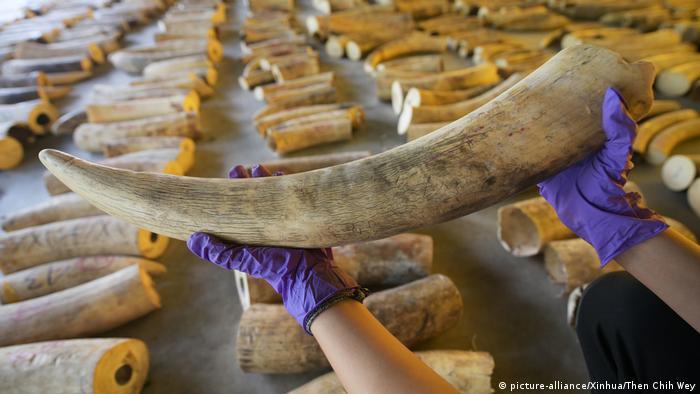 Singapore authorities show elephant tusks seized on July 23, 2019