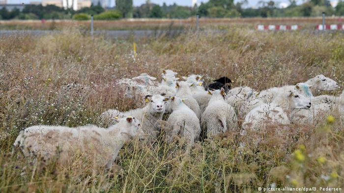 Auftrieb der Schafe auf dem Tempelhofer Feld BdT (picture-alliance/dpa/B. Pedersen)