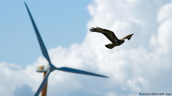 A Eurasian buzzard flying near a wind wheel,