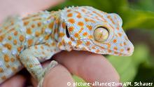 Kalifornien Tokeh Gecko