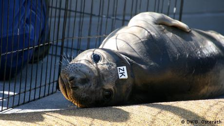 A elephant seal pup is lying on the floor at the Marine Mammal Center in Sausalito, CA, USA