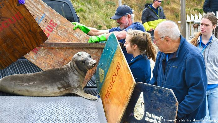 A rehabilitated elephant seal is released into the wild