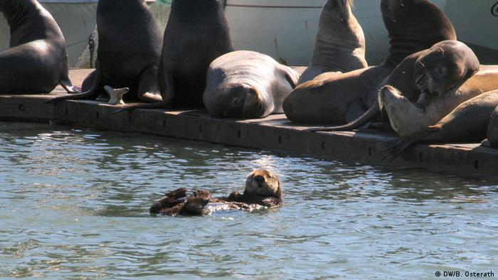 A sea otter is floating in the water in the harbour of Moss Landing, CA, while several sea lions sunbathe on the pier
