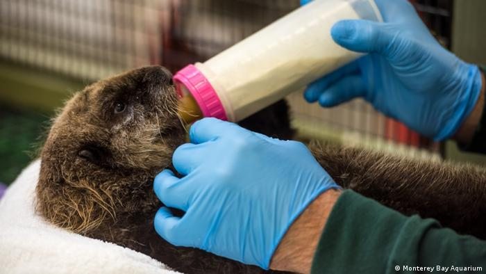 At Monterey Bay Aquarium, Southern sea otter pup 719 is being bottle fed.