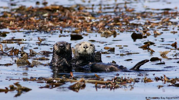 Two sea otters, a female and its pup in the wild in Monterey Bay, California
